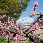 ぷくぷく フルーツ公園 桜の花_03
