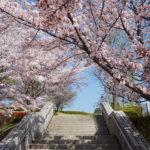 ぷくぷく フルーツ公園の桜の花_01