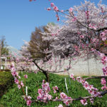 ぷくぷく フルーツ公園 桜の花_02