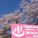 ぷくぷく 桜の花_01
