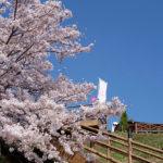 ぷくぷく 桜の花_02